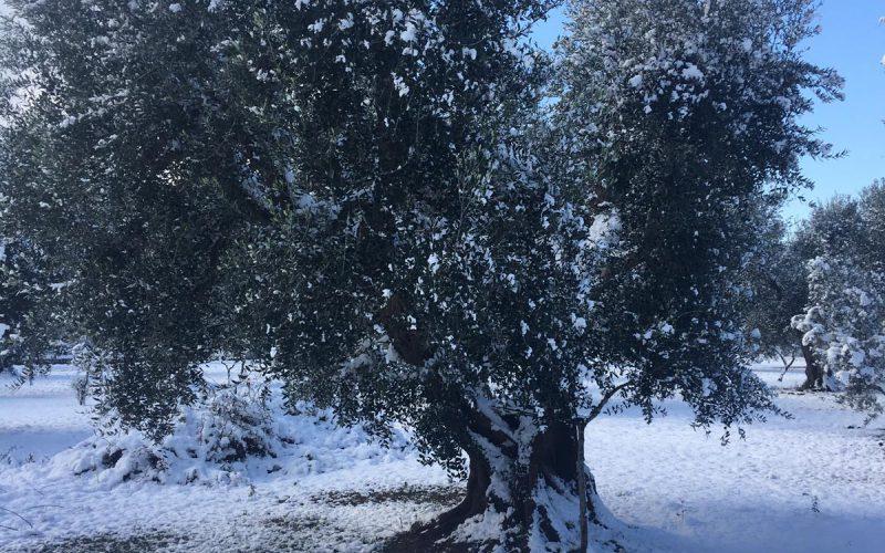 I nostri olivi