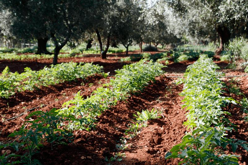 Pomodorini crescono
